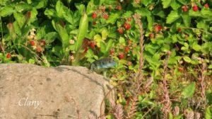 Eidechse im Garten